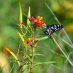 butterfly on a milkweed flower